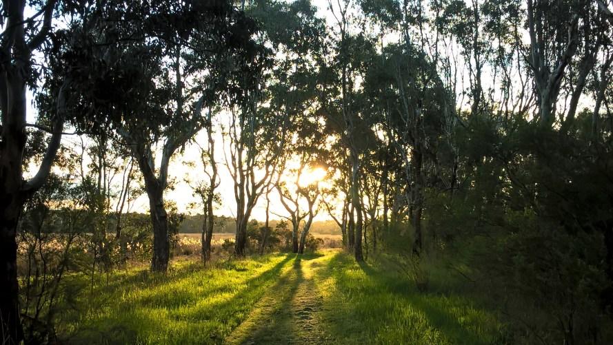 bosco australiano al tramonto