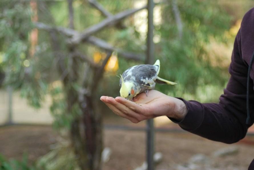uccellino calopsitta che mangia da una mano