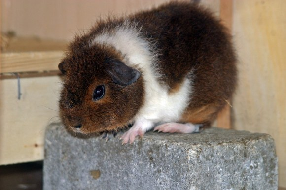 cavia rex porcellino d'india