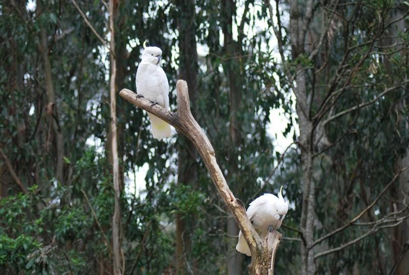 due pappagalli cacatua bianchi sull'albero