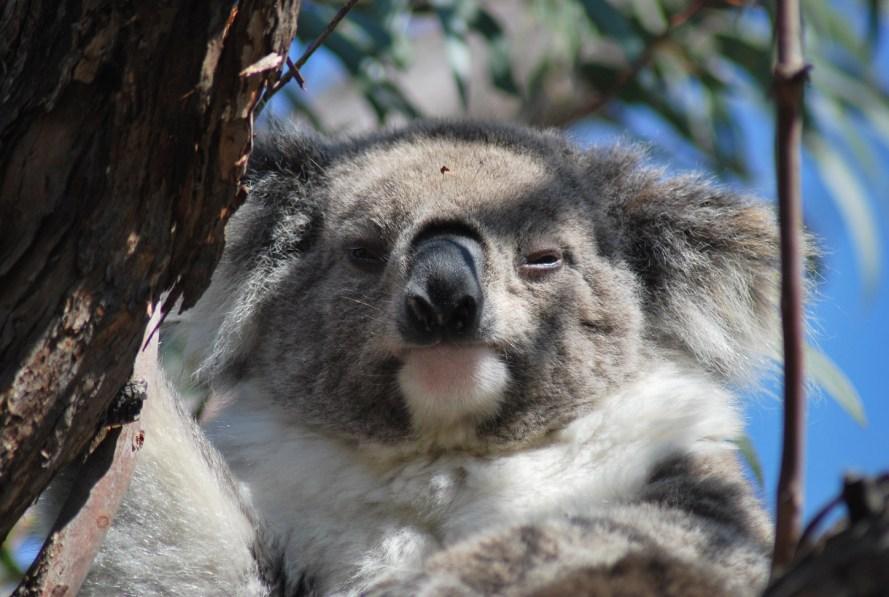 koala femmina in primo piano con occhi socchiusi