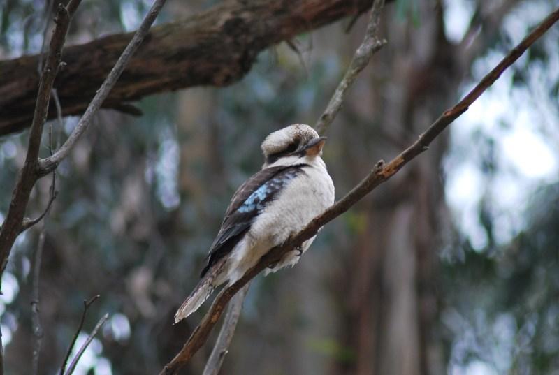 kookaburra su un ramo