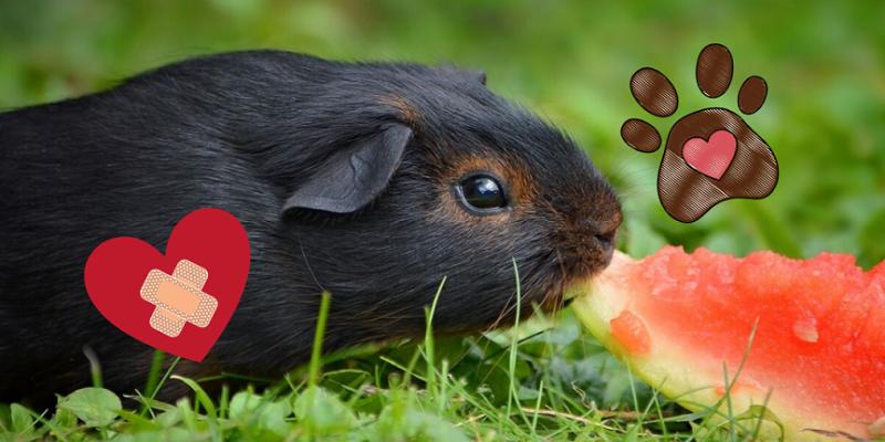 porcellino d'india fa bene alla salute (e mangia un'anguria)