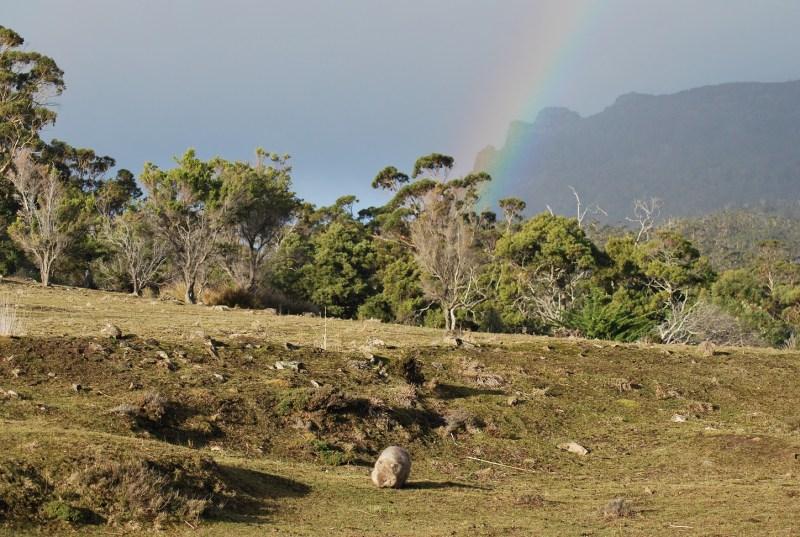 vombato e arcobaleno a maria island