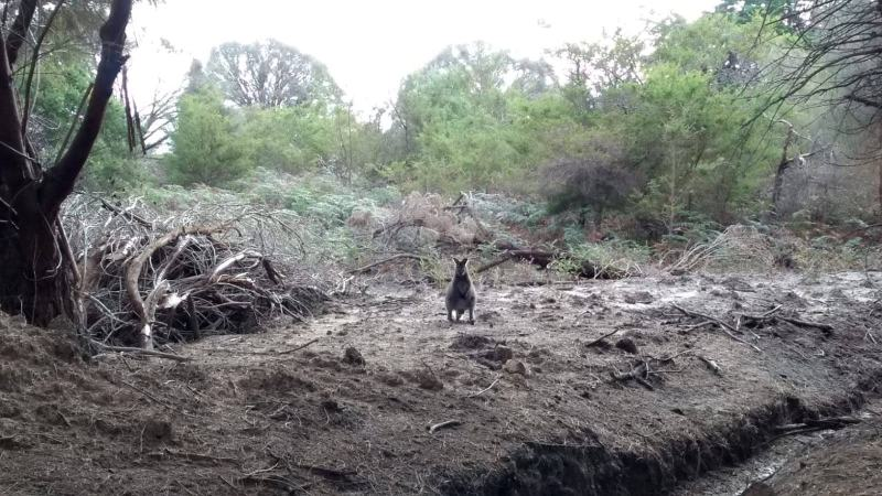 Wallaby tra gli arbusti