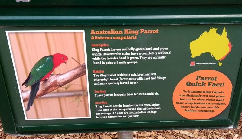 pappagalli australiani: pappagallo re australiano, informazioni su dove vive