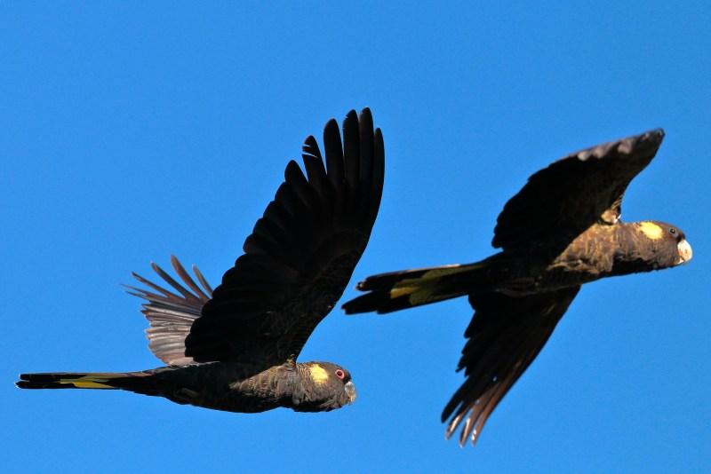 Cacatua neri dalla coda gialla in volo nel cielo blu