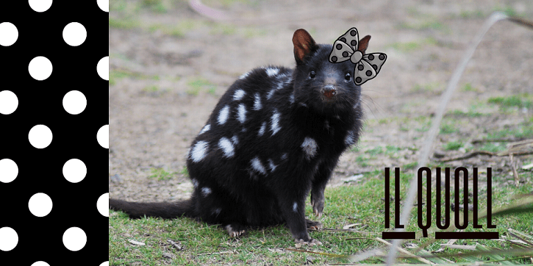 quoll, gatto marsupiale: un quoll orientale maculato