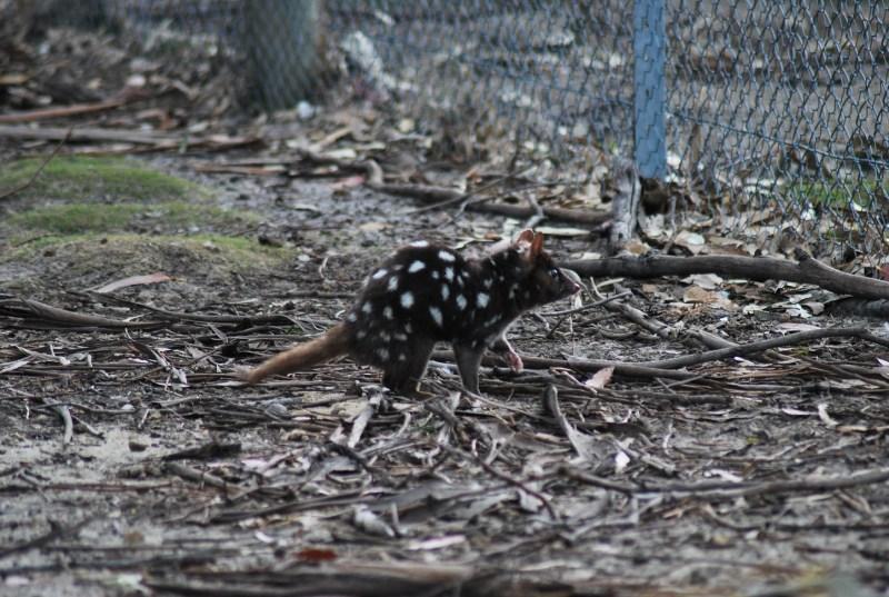 quoll di profilo: somiglianza con il diavolo della tasmania