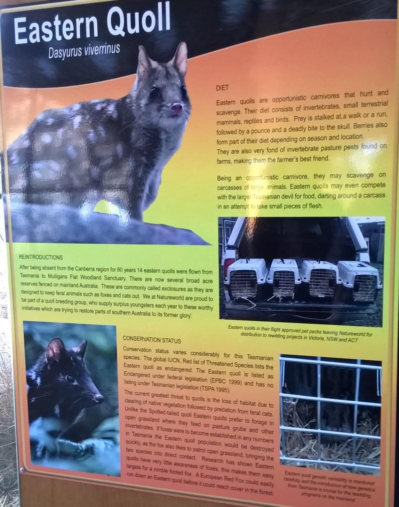 dasyurus, o quoll orientale (gatto marsupiale australiano), pannello informativo