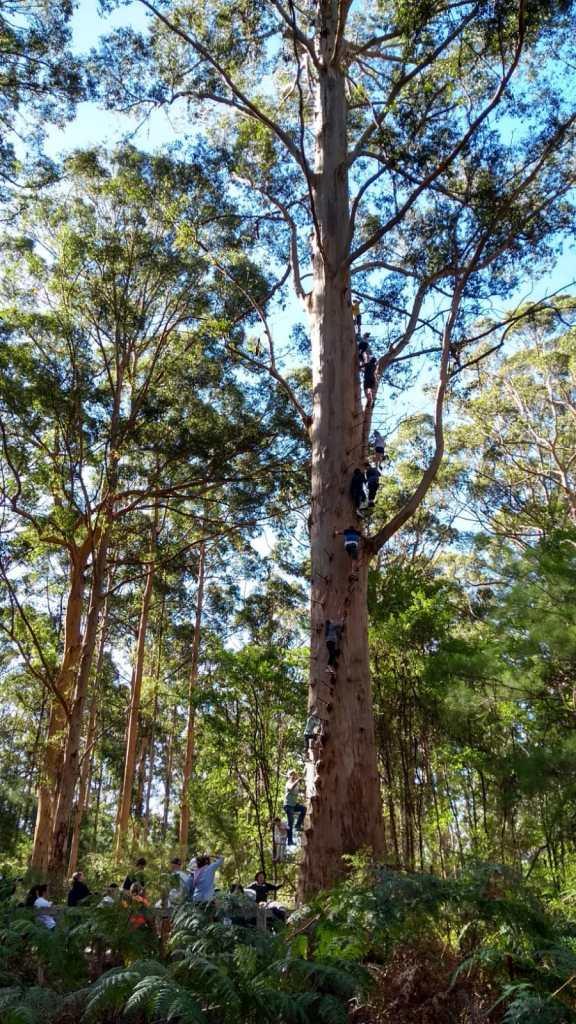 Gloucester Tree, l'albero con i pioli per arrampicarsi fino in cima, con gente che sale