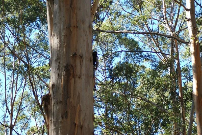 Gloucester Tree: un albero con pioli lungo il tronco e una persona che sale