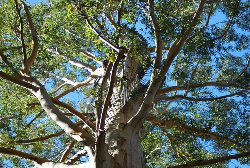Gloucester tree, albero con pioli sul tronco visto dal basso