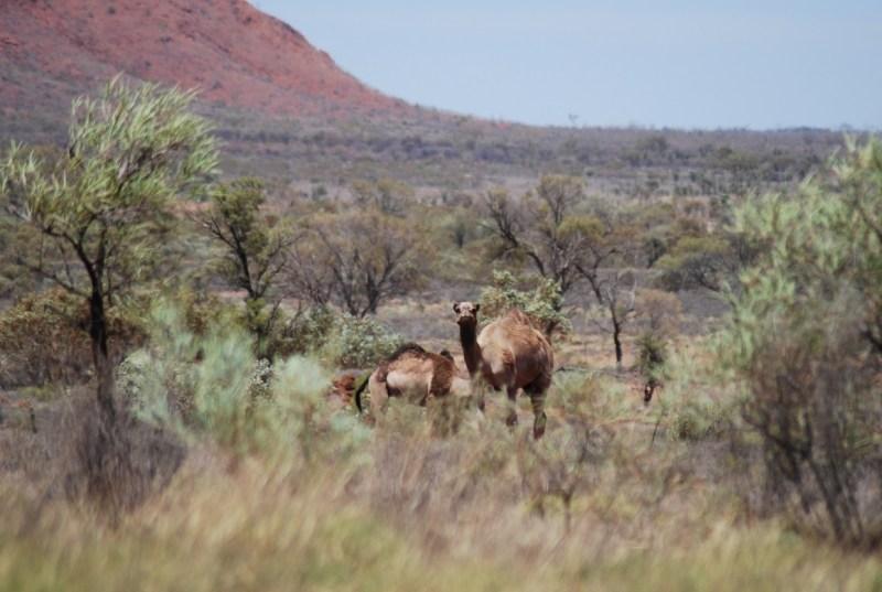 cammelli selvatici nell'Australia centrale