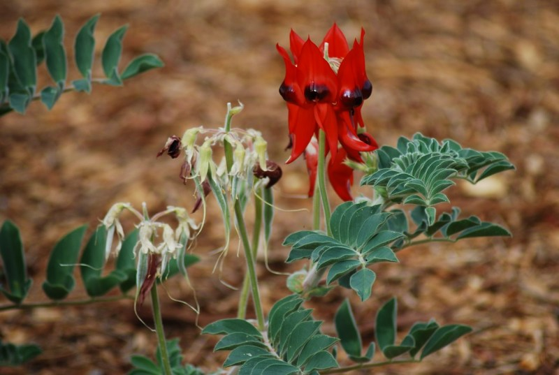 """fiore selvatico rosso (""""desert pea"""")"""