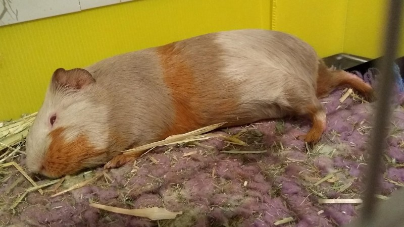 Porcellino d'India che dorme