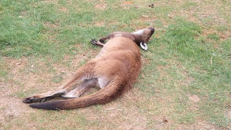 Canguro svaccato, perché l'Australia fa diventare stupidi anche loro