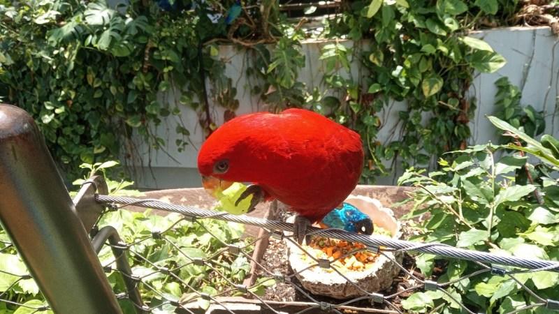 lorichetto rosso mangia un acino d'uva