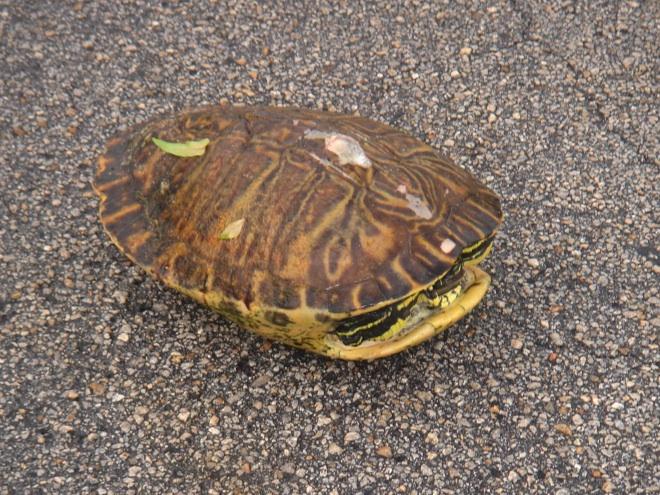 turtleback