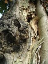 Totes Holz an einer Kastanie