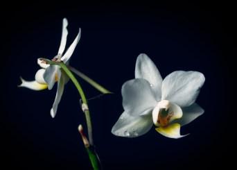 Vit orkidé - Ludwig Sörmlind