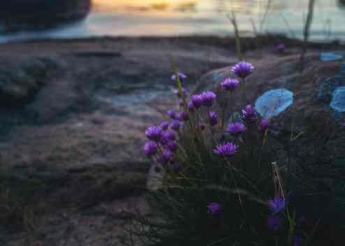Lila blommor som såg ut att växa fram från under en rund sten.