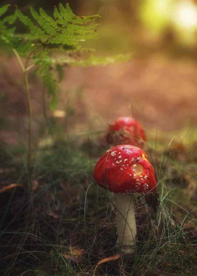 Röd flugsvamp under en ormbunke - Ludwig Sörmlind