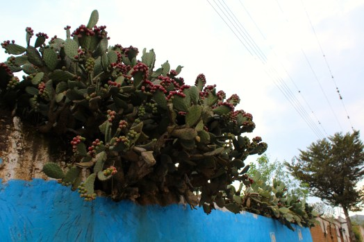 A nopal cactus growing red tuna, a (delicious!) fruit sold in street markets
