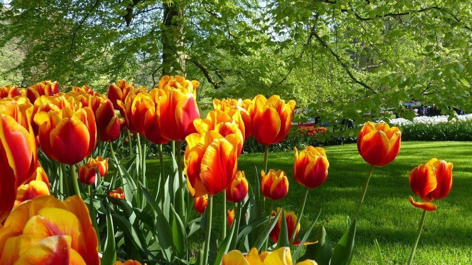 Los tulipanes de Ámsterdam en peligro por los turistas