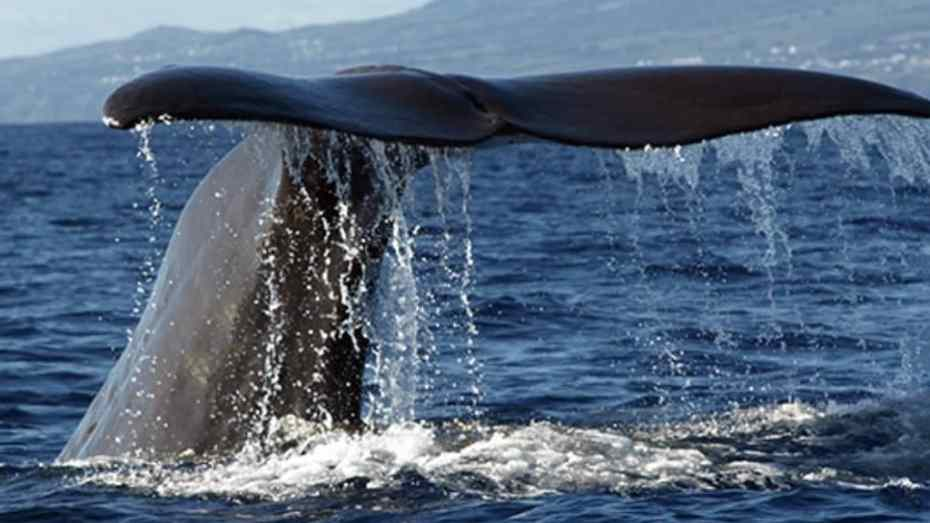 whales Azores