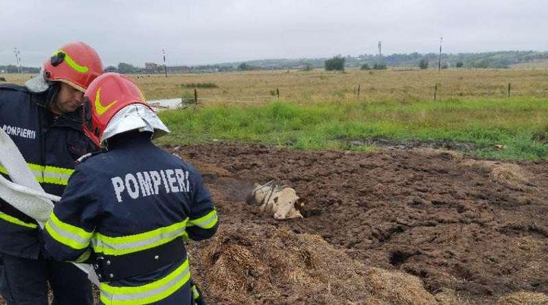 Lugoj Expres Intervenție neobișnuită! Pompierii lugojeni au salvat un taur blocat într-o fosă septică taur pompierii lugojeni Oloșag Lugoj ISU Tiiș intervenție neobbișnuită fosă septică ferma animal