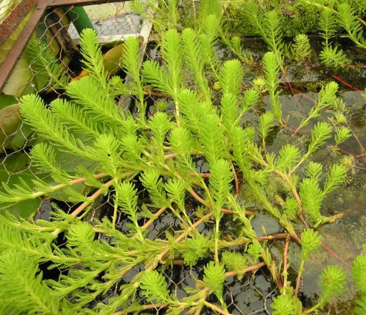 Flora of North America  Genus Myriophyllum