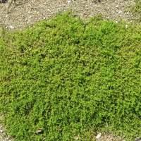 Herniaria glabra [Ernaria glabra]