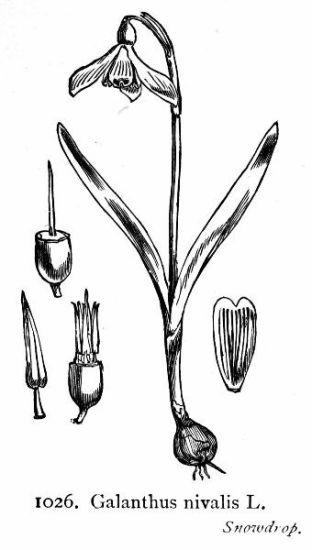 Generi della flora italiana: Galanthus