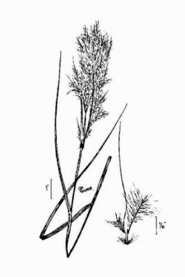 Andropogon glomeratus (Walter) Britton, Sterns & Poggenb