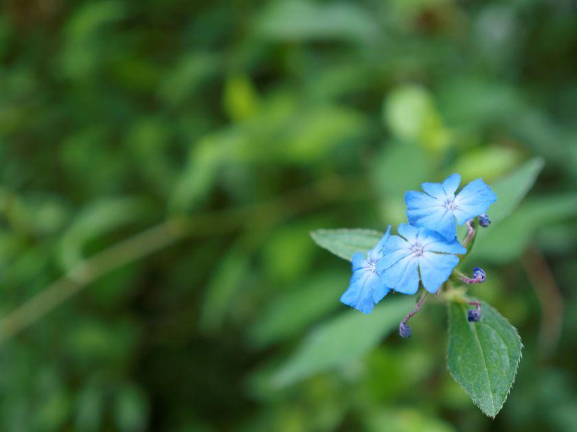 Flores azules. Artículo sobre el Real Jardín Botánico de Madrid. Fotografía de Luis F. Roncero.