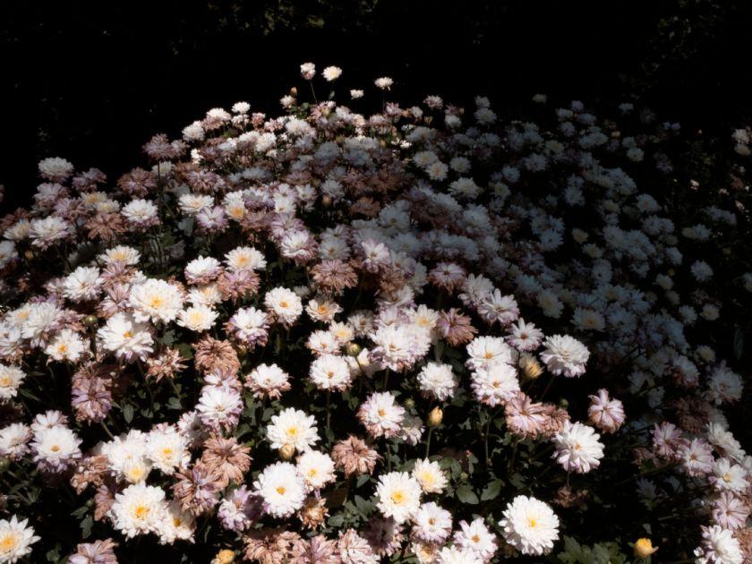 Macizo de dalias. Artículo sobre el Real Jardín Botánico de Madrid. Fotografía de Luis F. Roncero.