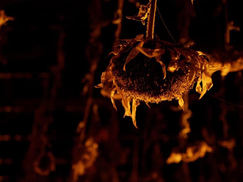 Girasol secándose boca abajo. Agostamiento: una instalación de arte del colectivo Basurama para el programa Abierto x Obras de Matadero Madrid. Fotografía de Luis F. Roncero.