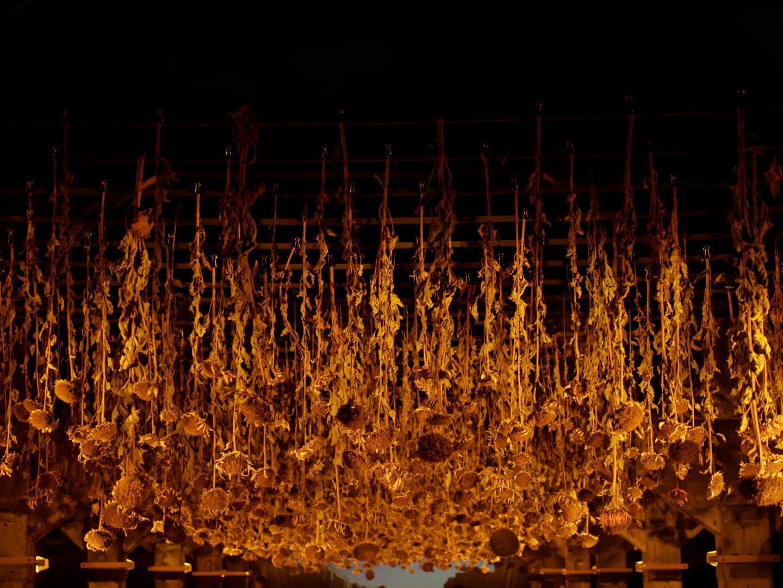 Intervención artística con girasoles en una nave industrial. Agostamiento: una instalación de arte del colectivo Basurama para el programa Abierto x Obras de Matadero Madrid. Fotografía de Luis F. Roncero.