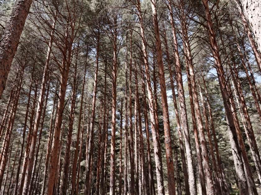 Troncos de árbol se elevan rectos en paralelo en el Valle de Fuenfria, Cercedilla, Sierra de Madrid. Fotografía de Luis F. Roncero.