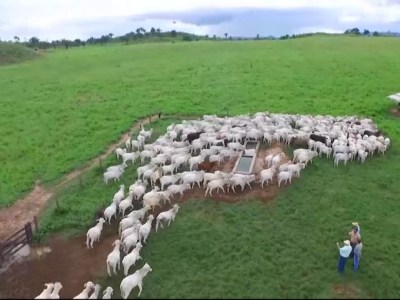 Região Tocantina tem 30% de todo o rebanho bovino do Maranhão