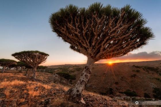 Dragon blood trees, Socotra island