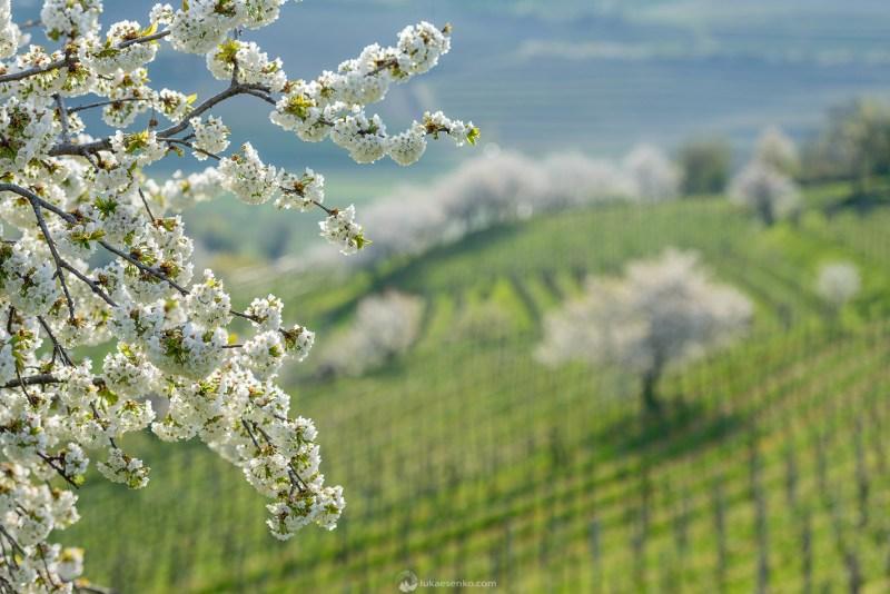 Spring at Goriška Brda