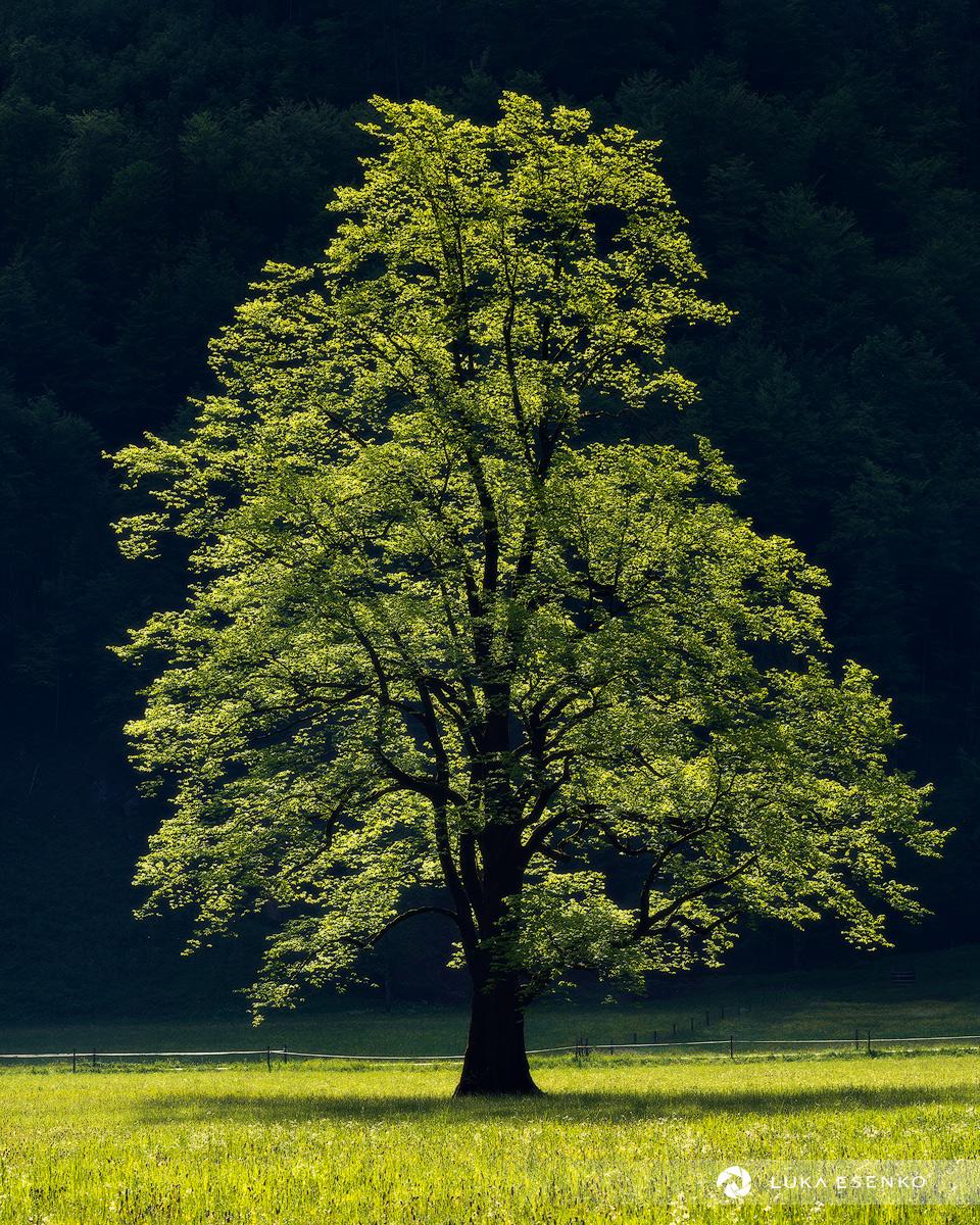 Beautiful Elm tree at Logarska valley