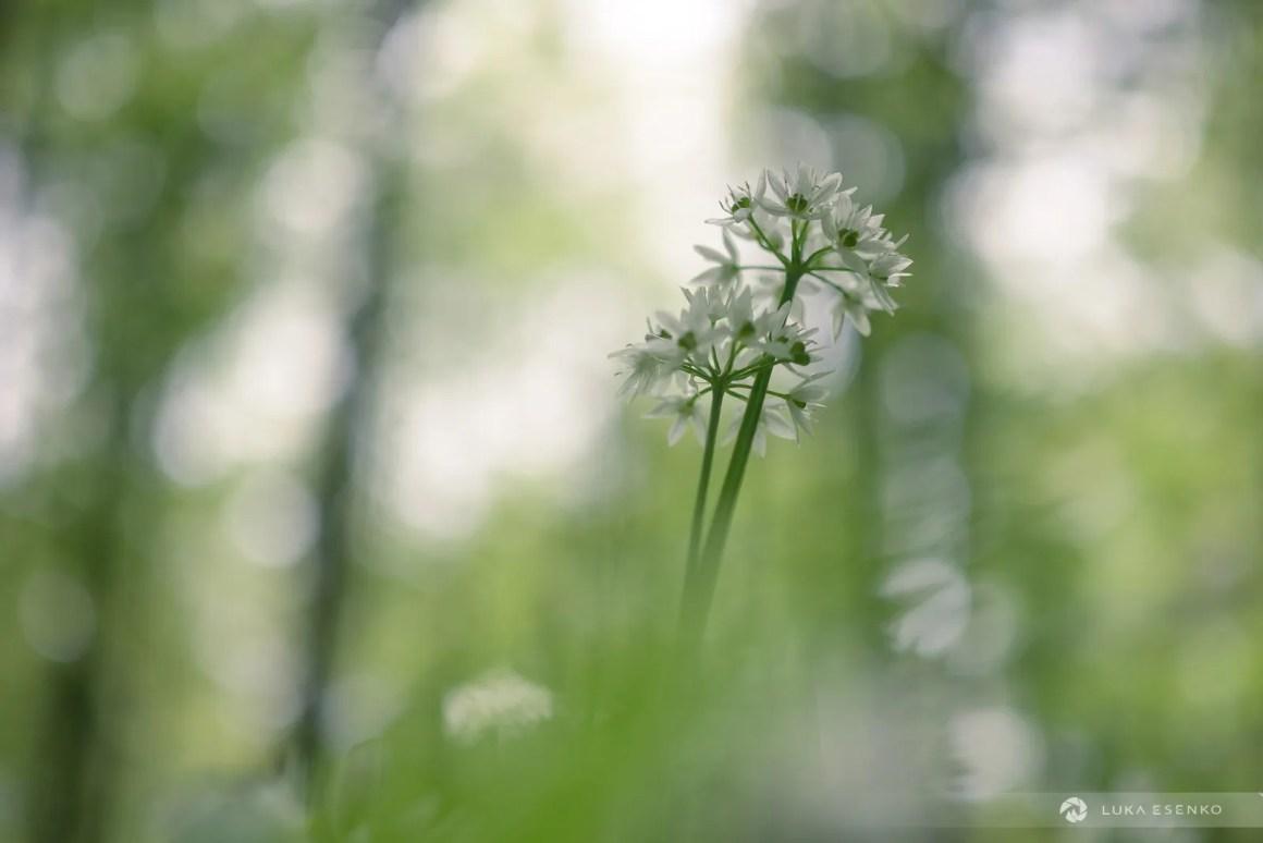 Wild garlic / Čemaž