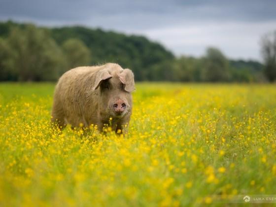 A swine at Lonjsko Polje