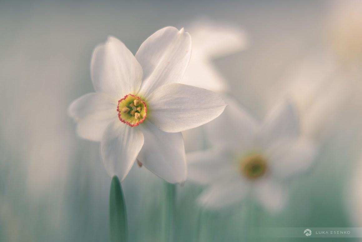 Wild daffodils, Slovenia