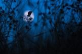 Bläuling bei Mondschein