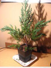 Odrutowane drzewko 1