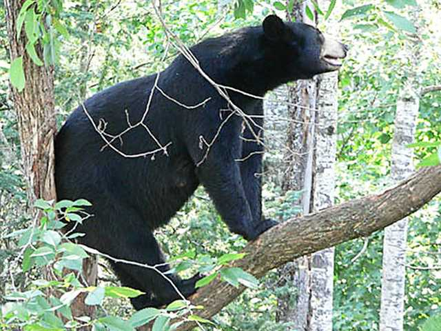 Black_Bear_photo_Web